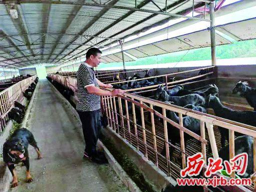養殖黑山羊已成為封開縣六大主導農業產業。 西江日報記者 王永強 攝
