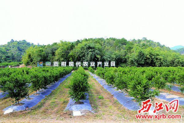 经土地确权流转后,德庆贡柑产业进一步实现规模化现代化发展。 西江日报记者 杨丽娟 摄