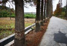 记者调查:高要小湘数十棵水杉被人为破坏