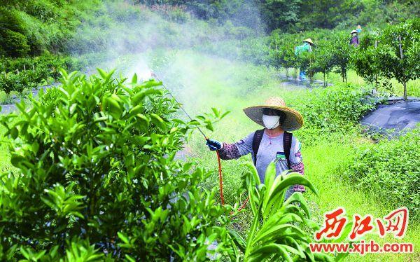 德庆县官圩镇村民在贡柑现代农业产业园里劳作。西江日报记者 梁小明 摄