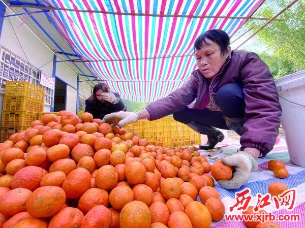 四會沙糖桔面臨較大銷售壓力。圖為在頂峰柑橘合作社,工人們在分揀沙糖桔。 西江日報記者 賴小琴