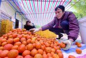 種植面積增加產量明顯上升,市場競爭大物流成本高 四會沙糖桔銷售遇困境