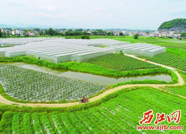 肇庆市怀集县蔬菜省级现代农业产业园里,蔬菜长势喜人。 西江日报记者 梁小明 摄