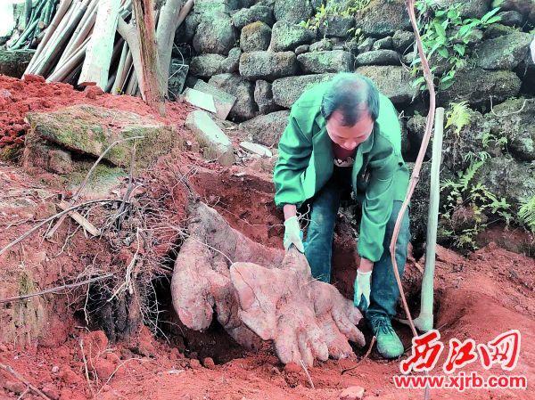 村民挖出102斤大红薯。 西江日报通讯员供图