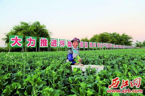 怀集蔬菜产业园供港蔬菜基地。   怀集县供图