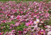 春回大地,封川外滩的格桑花开正美~
