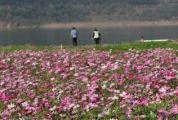 春暖花开正当时,封川外滩的这片幸福花海太美啦!
