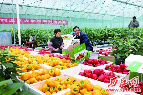 广宁南街街道林洞村大棚蔬菜基地喜迎丰收。 广宁县委办供图