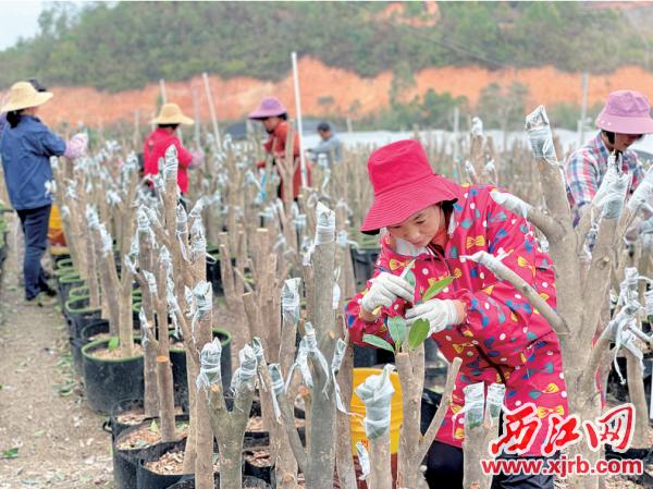 农户正在四季茶花种植基地忙碌地进行茶花嫁接工作。 西江日报记者 苏燕君 摄