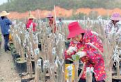 茶花开满致富路 ——德庆县莫村镇茶花产业蓬勃发展助力乡村振兴