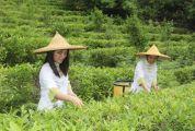 采茶正当时 怀集茶园飘香茶农欢乐