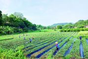 德庆县超盛农产品专业合作社 发展南药产业带动村民致富