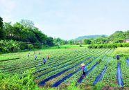 发展南药产业带动村民致富