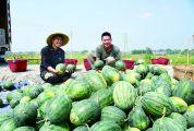 怀集国家地理标志产品谭脉西瓜 甜脆小西瓜撬动亿元大产业