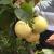 澳门威尼斯人威尼斯人游戏-娱乐这种水果喜获丰收,你有吃过吗?