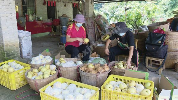 封开早脆梨进入丰收期,吸引众多市民游客购买。 西江日报通讯员供图