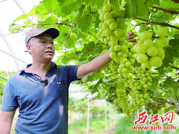 黄俊飞的阳光玫瑰葡萄品质好,很受客户欢迎。 西江日报记者 赖小琴 摄