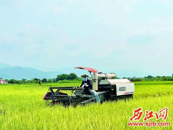 四会罗源镇乌石岗村一片成熟的稻田里,收割机正在作业。 西江日报记者 夏紫怡 摄