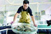 """四会澳洲淡水龙虾 """"澳龙""""肉多味美价高"""