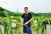 高要汇绿火龙果 紫红果实带动乡村红火发展