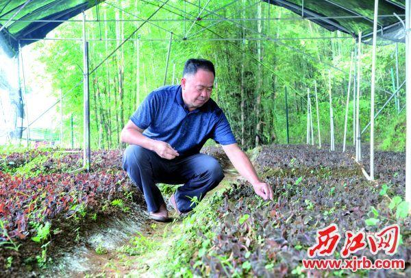大洲镇西畔村金线莲种植基地负责人莫泽飞正在打理金线莲。