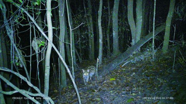保护区红外相机拍摄到的豹猫影像。                                     受访单位供图