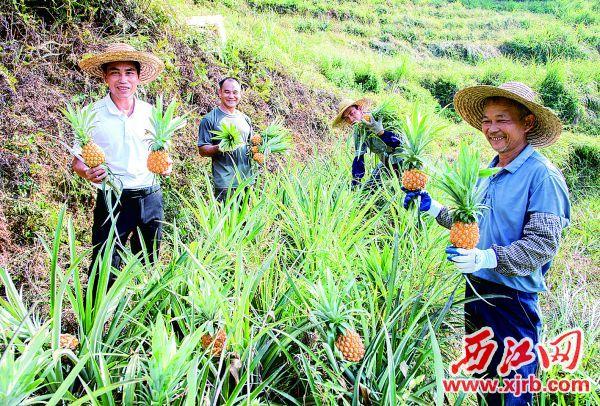 村民们正在采摘神湾菠萝。 西江日报记者 杨乐祺 摄