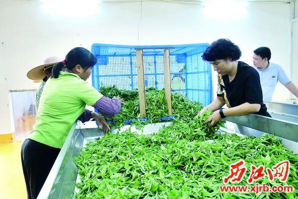 李小丽(右二)正在与工人将新鲜采摘回来的茶叶倒在机械化萎凋生产线。