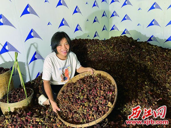 今年砂仁丰产,种植户冯惠容乐开花。 西江日报记者 夏紫怡 摄