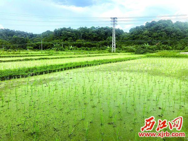 澳门威尼斯人集团县东璞生态农业有限公司种植的生态水稻。 西江日报记者 杨永新 摄