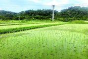 德庆县东璞生态农业有限公司十年磨一剑研种生态水稻 让吃米饭成为一种享受