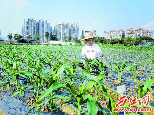 """萧学新在检查""""一备两造法""""农作物种植情况。"""