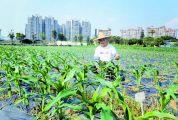 """市农科所新技术让一次备耕实现两到三造连续种植 """"一备两造法""""为农户省力省钱"""
