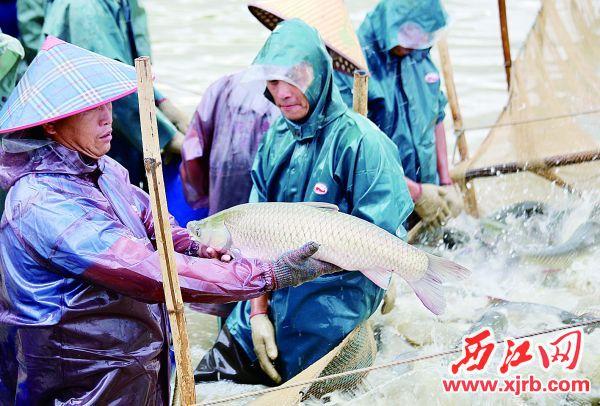 高要区大湾镇古西村麦溪塘里,养殖户正在捕捞。 西江日报记者 杨永新 摄