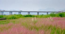 错过了要再等一年!肇庆江滨公园网红草又盛放了