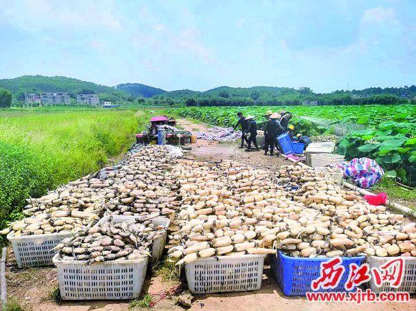 水果莲藕采摘后将销往各地市场。 受访者供图
