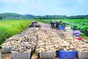 怀集冷坑镇桐光村600多亩藕田平均年产值300至400万元 水果藕生吃清甜又脆口