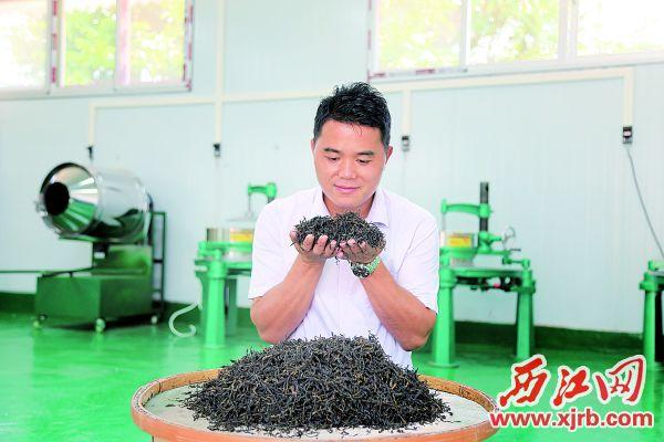 张火森在检查广宁单丛茶的品质。西江日报记者 杨丽娟 摄