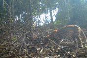 罕见!小灵猫、豹猫出没!注册送68体验金这里拍到22种珍稀野生动物