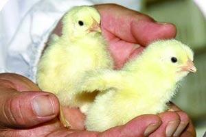 """山西企业:""""45天速成鸡""""称属正常生长"""